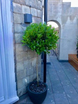Photograph of a bay tree in a black pot with gravel, outdoors in front of a stone wall. Interior design; design; landscaping; sustainable planting; plant design; Landscape Design; Courtyard Planting; Plant Maintenance; Soho Florist
