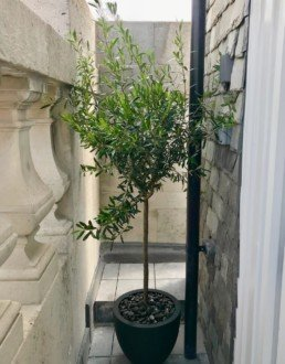 Photograph of an olive tree tree in a black pot with gravel, outdoors between a stone wall and stone architecture. Interior design; design; landscaping; sustainable planting; plant design; Landscape Design; Courtyard Planting; Plant Maintenance; Soho Florist