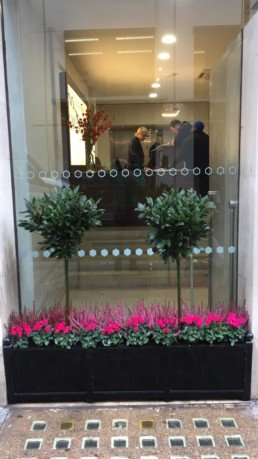Photograph of vibrant winter plant maintenance for Savile Row, London, with Heather and hot pink Cyclamen with Structured Bay trees in a black trough in front of an office window. Mayfair; Luxury London; Soho Florist; Contract planting; plant Maintenance; landscaping; Corporate plants