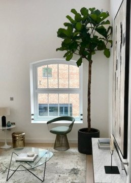 Photograph of outside-inside planting to support interior design project. Tall ficus tree in black pot, inside the corner of interior space with a glass table, grey rug and light green chair. Greenery in a large, round concrete pot, with ferns, spider plants and foliage greenery. Interior design; design; landscaping; sustainable planting; plant design; plant maintenance