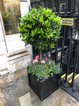 Photograph of bee-friendly planting for Savile Row, London with a Bay tree, Pink Geraniums and Purple Lavender in a square black trough. Plant design; Landscaping; Contract plants; Plant maintenance; Mayfair; Luxury london; facilities management; sustainable florist