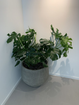 Photograph of large cheeseplant (Monstera delicious) in a large grey round concrete planter. Office plants, corporate plants, plant maintenance, roof garden, courtyard. Landscape maintenance Sustainable planting; Pesticide Free; Balcony design; urban garden design.
